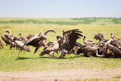 Vultures herd crowding on wildebeest carcass Stock Photo
