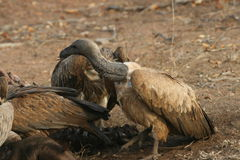 Vultures after the kill. A Vulture in the Kruger National Park cleaning up after Lions killed a Buffalo royalty free stock image