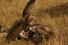 Vultures on a kill.  Royalty Free Stock Photos
