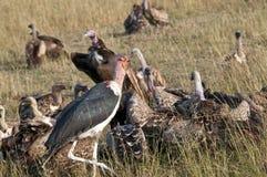 Vultures on a kill, Mara, Kenya. Royalty Free Stock Photo