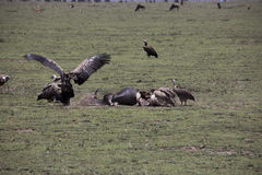 Vultures at kill site in Serengeti, Tanzania. Vultures fighting over wildebeest remains on plains of Serengeti, Tanzania, Africa Royalty Free Stock Image