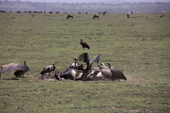 Vultures at kill site in Serengeti, Tanzania. Vultures fighting over wildebeest remains on plains of Serengeti, Tanzania, Africa Stock Photography