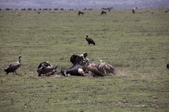 Vultures at kill site in Serengeti, Tanzania. Vultures fighting over wildebeest remains on plains of Serengeti, Tanzania, Africa Stock Photos