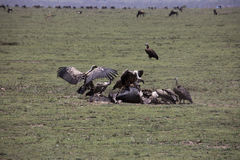 Vultures at kill site in Serengeti, Tanzania. Vultures fighting over wildebeest remains on plains of Serengeti, Tanzania, Africa Stock Image