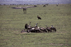 Vultures at kill site in Serengeti, Tanzania. Vultures fighting over wildebeest remains on plains of Serengeti, Tanzania, Africa Royalty Free Stock Images