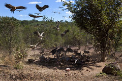 Vultures at a kill - Zimbabwe. African vultures landing at the remains of a kill near Victoria Falls in Zimbabwe. Lappet-faced Vultures and White-backed Vultures Royalty Free Stock Photo