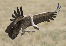 Vultures landing. Royalty Free Stock Images