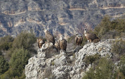 Vultures in las Hoces del Duraton Stock Photos