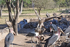 Vultures and Marabou stork Stock Photography