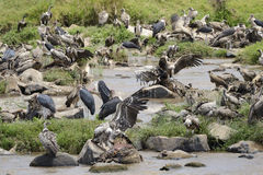Vultures and Marabu's Stock Image