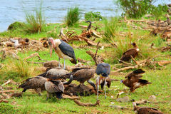 Vultures and Mararou stork Royalty Free Stock Photography