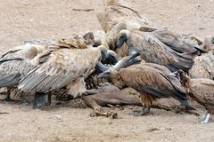 Vultures in the Moholoholo Wildlife Rehab Centre, South Africa Stock Photos