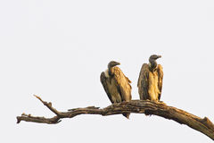 Vultures. A pair of vultures basking in the morning Royalty Free Stock Photography