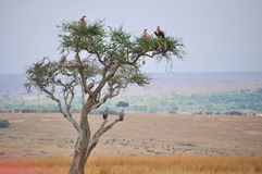 Vultures. Perched in a tree Royalty Free Stock Image