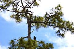 Vultures resting after eat Stock Images