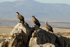 vultures resting on the stone Stock Images