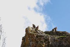 Vultures on rock stock photo