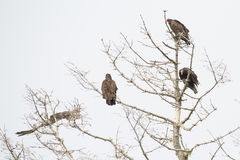 Vultures roosting in dead tree Stock Photo
