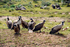 Vultures on safari Royalty Free Stock Image