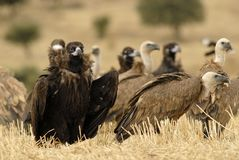 vultures scavenging in the field Stock Image