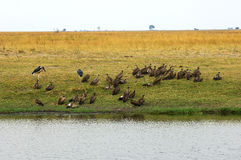 Vultures sitting on the bank of the Chobe River Royalty Free Stock Photos