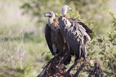 Vultures sitting on ground after eating ready to fly Royalty Free Stock Photo