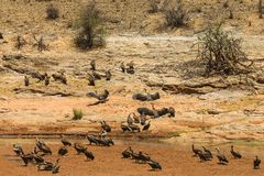 Vultures by the river Stock Photos