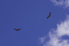 Vultures in the sky. A couple of Griffon Vultures (Gyps fulvus) soaring in the sky Stock Photo