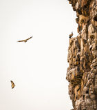 Vultures Soaring Royalty Free Stock Photos