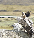 The vultures stood on the hill waiting for eating close-up. Royalty Free Stock Photos