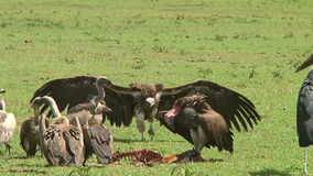 Vultures and a stork the Serengeti stock video