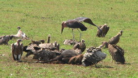 Vultures and a stork the Serengeti stock video footage