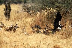 Vultures in tarangire park Stock Photography