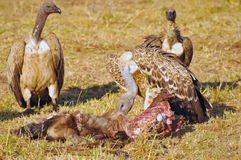 Vultures and their prey Stock Image