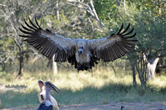 Vultures about to swoop with Marabou stork. Vulture eyes its prey and starts to swoop down. Marabou stork in the picture Stock Photography