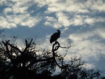 Vultures on Top of the Acacia Tree. At Maasai Mara National Reserve, Kenya, Wildlife scene from nature Africa royalty free stock image
