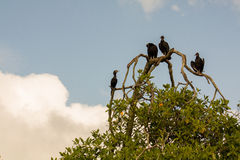Vultures on the tree branch near Livingston in Guatemala. Vultures on the tree branch near Livingston,  Guatemala Stock Photography