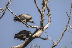 Vultures on the tree Stock Images