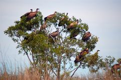 Vultures in tree Stock Image