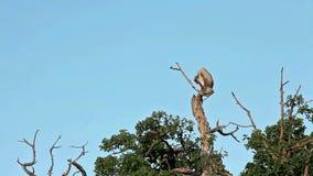 Vultures on a tree, Masai Mara stock footage