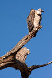 Vultures on a tree Royalty Free Stock Photos