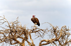 Vultures Stock Image