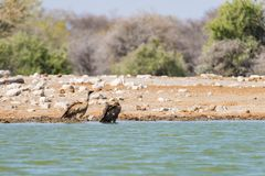 Vultures at waterhole , Etosha National Park, travel safari in Namibia, Africa. Royalty Free Stock Photos