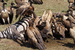 Vultures on zebra carcass, Masai Mara, Kenya Royalty Free Stock Images