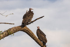 Vultures in South America royalty free stock images