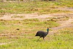 Vulturine φραγκόκοτα στην επαρχία του πάρκου Amboseli στη γνώση Στοκ Φωτογραφία