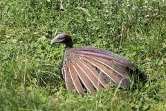 Vulturine φραγκόκοτα Στοκ Εικόνα