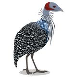 vulturine fågelguineafowl royaltyfri illustrationer