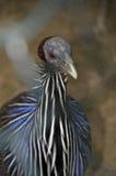 vulturine fjäderfä guinea Royaltyfri Foto