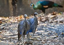 Vulturine Guineafowl Royaltyfri Fotografi
